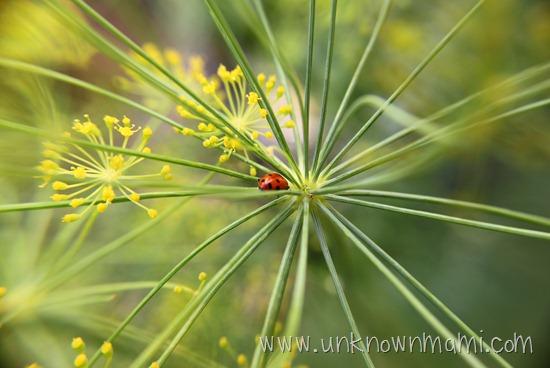 Ladybug_on_plant-unknownmami