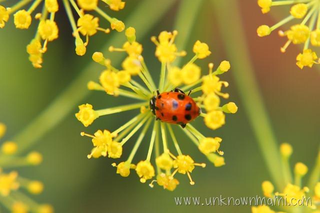 ladybug_closeup-unknownmami