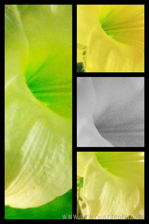 Amaryllis montage