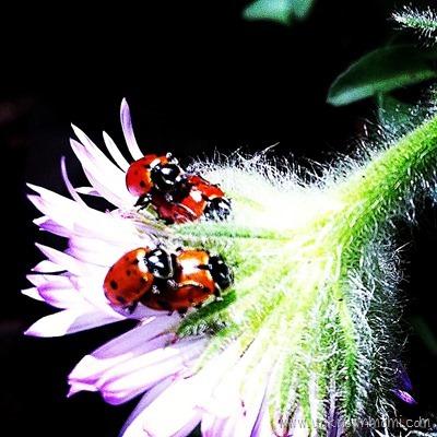 Lady bugs humping