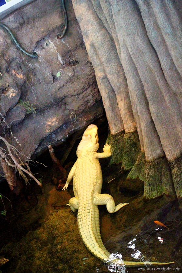 Claude the Albino alligator