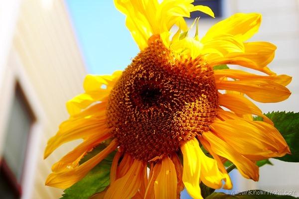 Sunflower-unknownmami