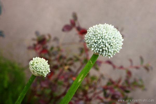 Onion_flower-unknownmami