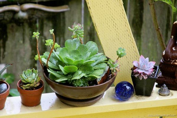 succulents in the rain