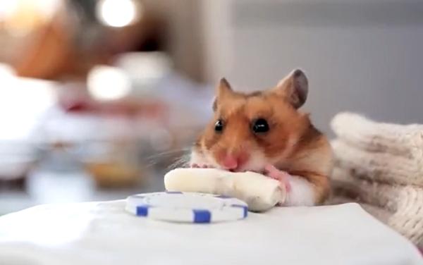 Hamster eating burrito